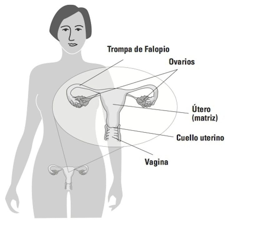 Ciclo menstrual. Fase lútea