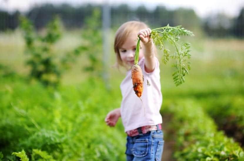 niña trabaja su curiosidad en el campo recoletando una zanahoria