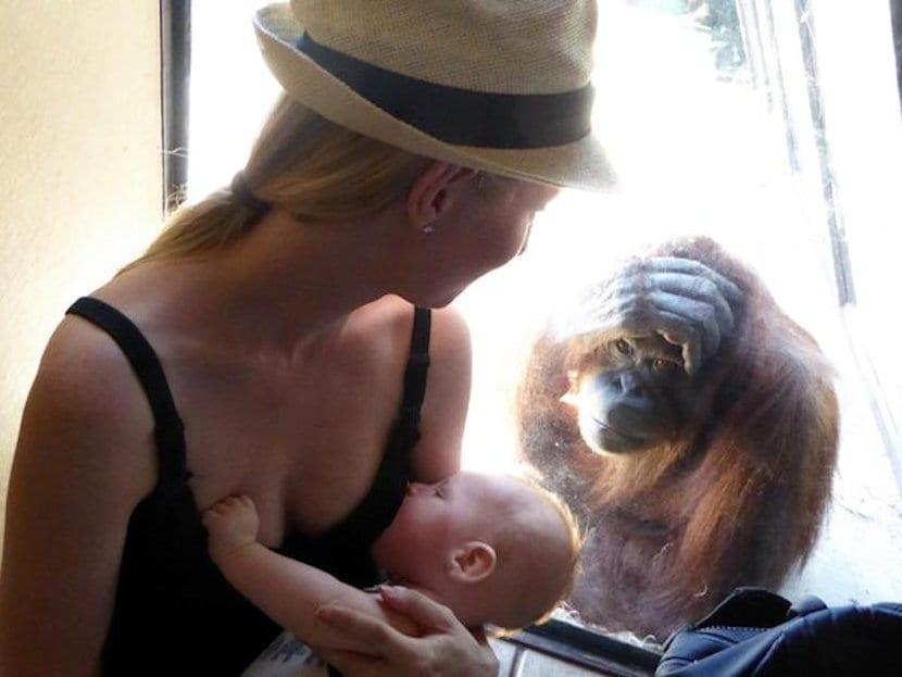 Lactancia orangutan