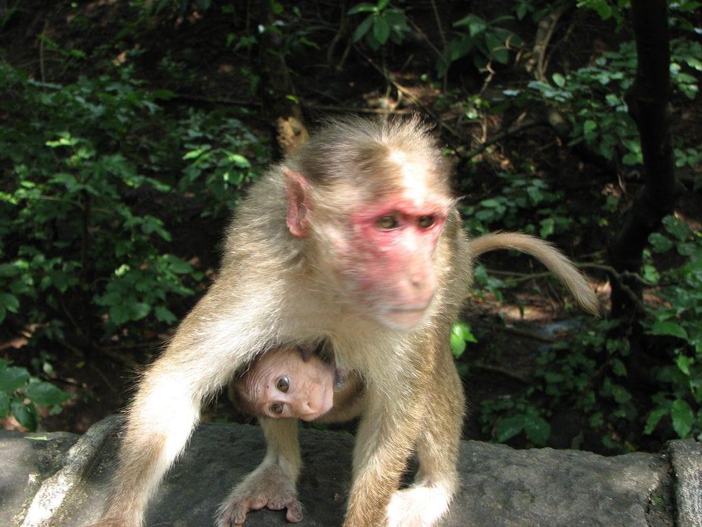 Porteo cría mono