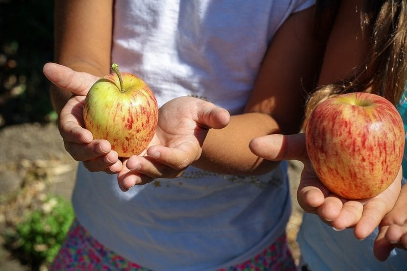 Niñas con manzanas recién cogidas del árbol en sus manos.