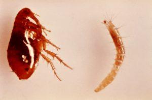 Picadura de pulga en los niños