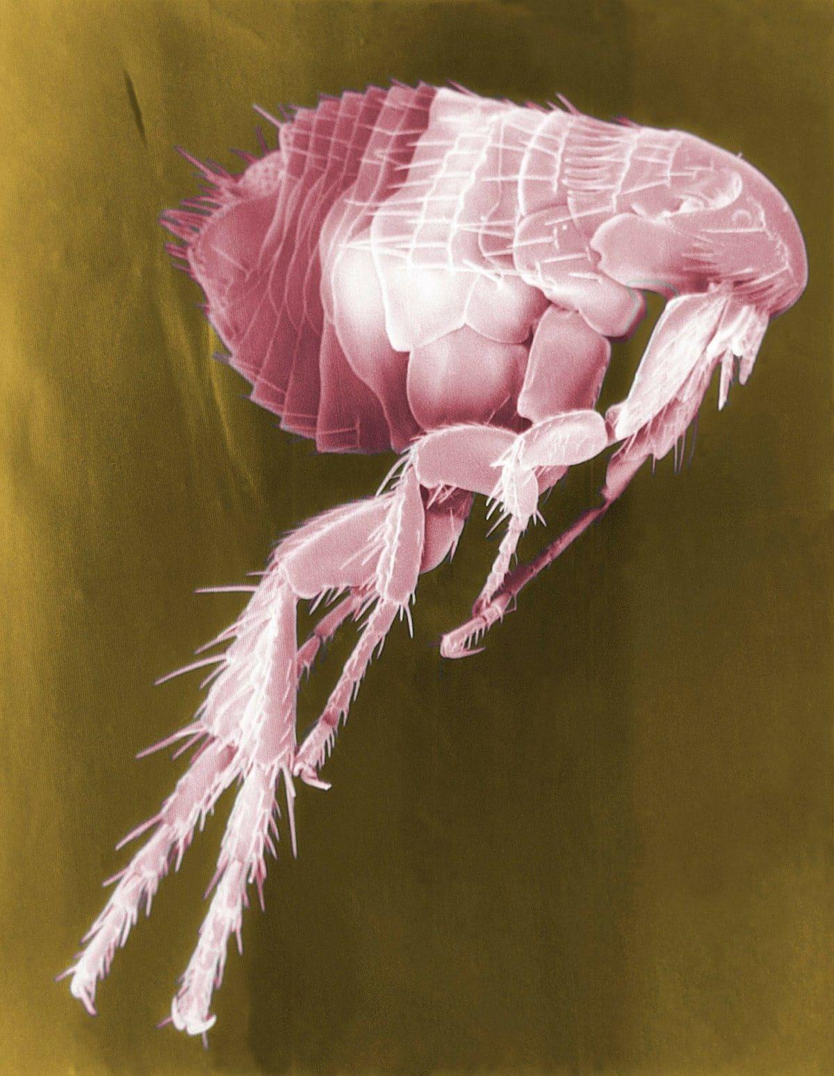 eliminar las pulgas en casa