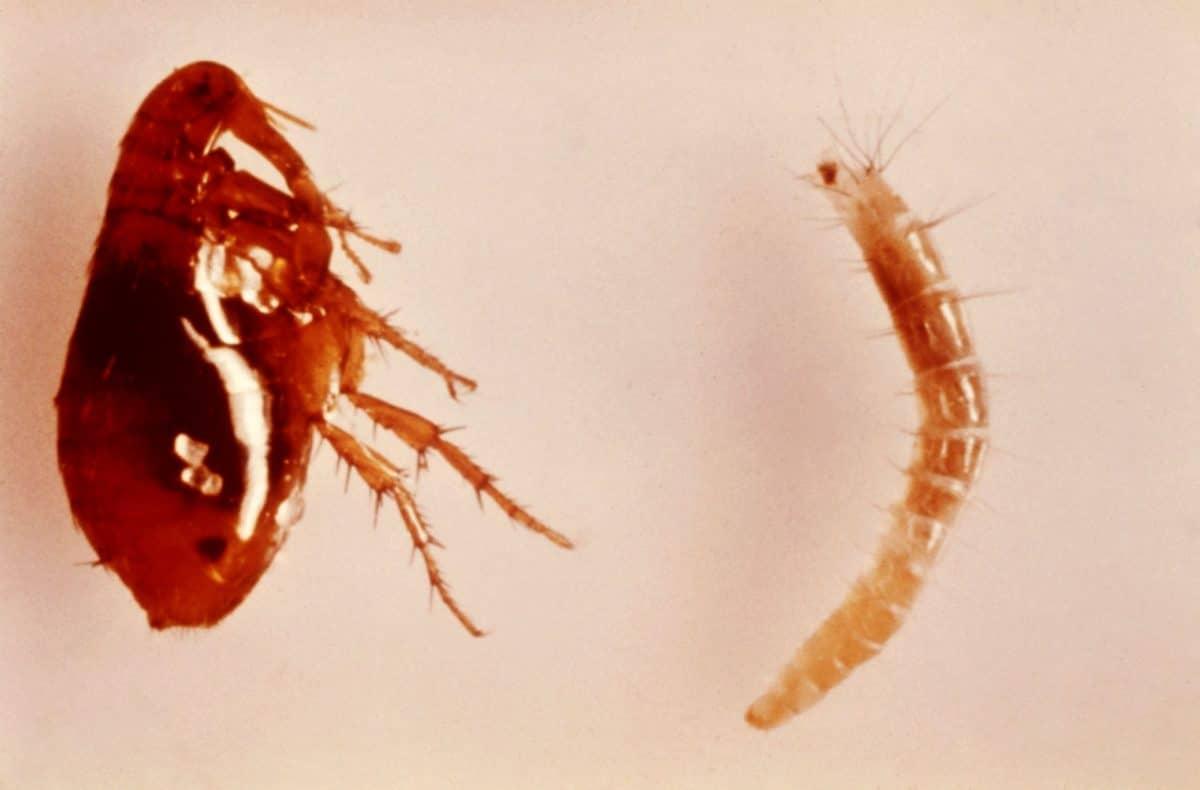 pulgas en el jardín