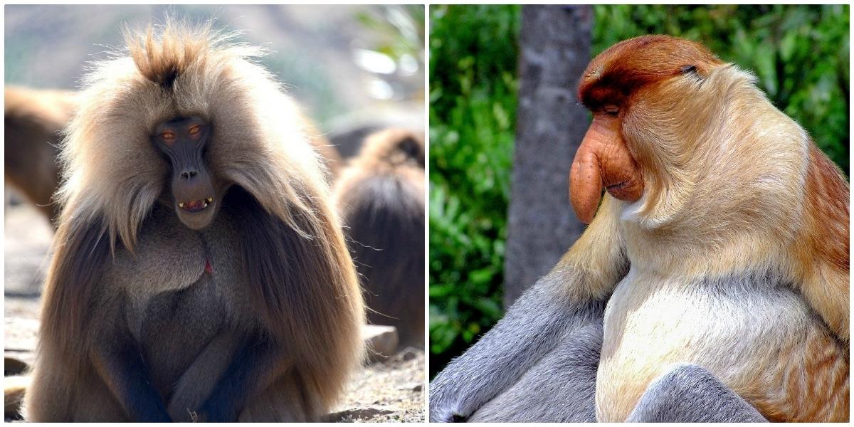Mono Gelada y Mono Narigudo