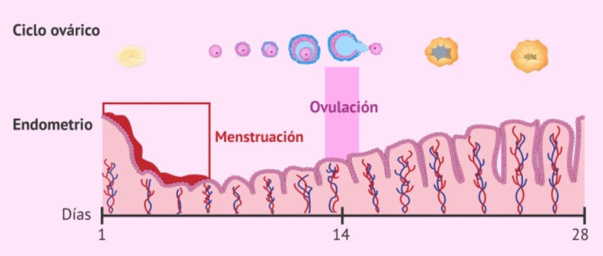 la ovulación
