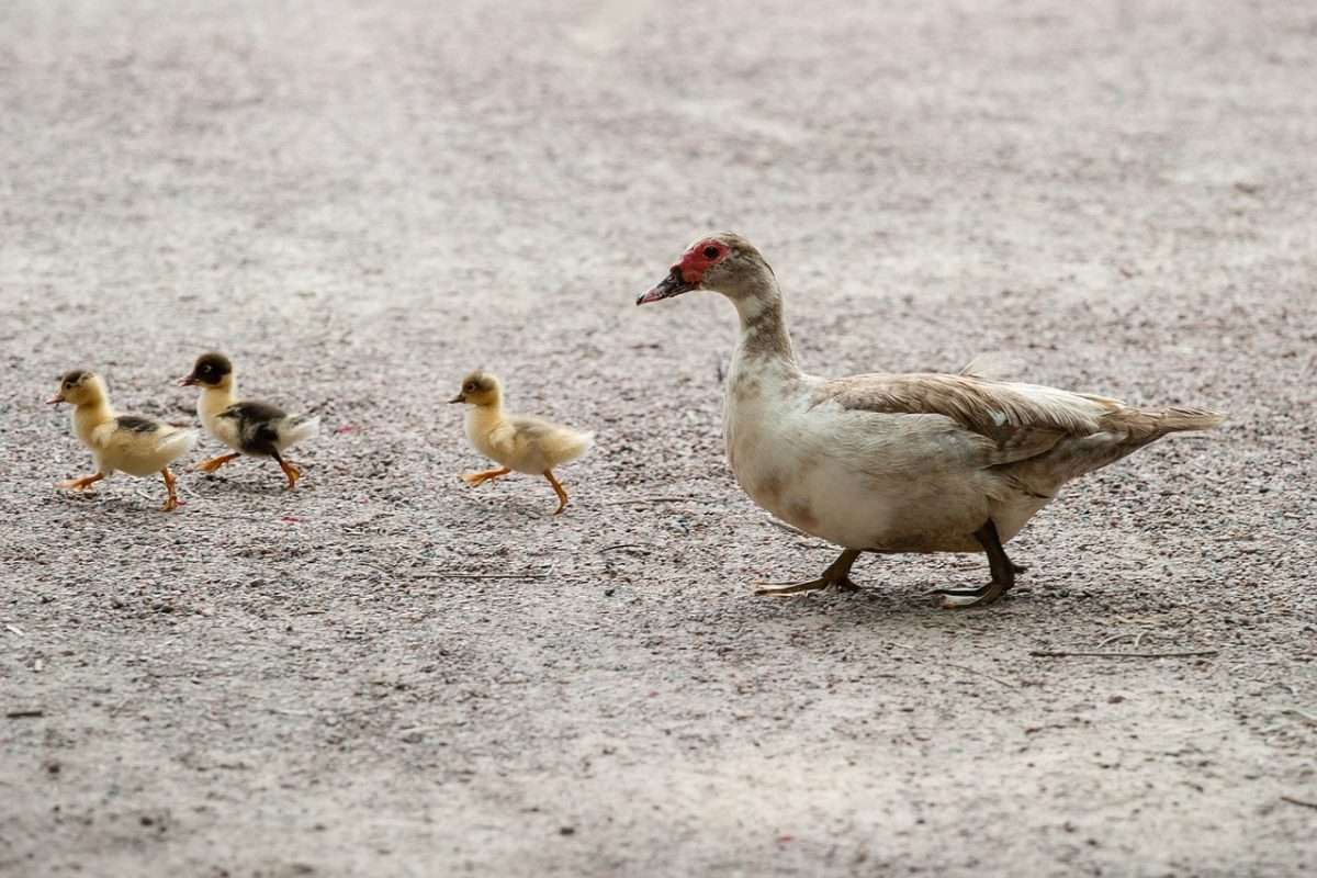 las aves son migratorias